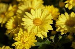 Autumn chrysanthemum Stock Photos