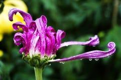 Autumn Chrysanthemum fotografering för bildbyråer