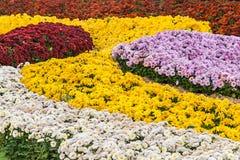 Autumn Chrysanthemum Exhibition a Kiev, Ucraina, 2016 Immagini Stock