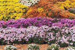 Autumn Chrysanthemum Exhibition a Kiev, Ucraina, 2016 Immagine Stock