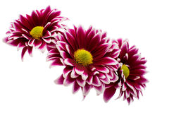 A autumn chrysanthemum flower Royalty Free Stock Images
