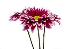 A autumn chrysanthemum flower Stock Photos