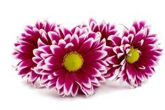 A autumn chrysanthemum flower Royalty Free Stock Image