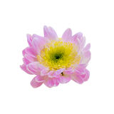 A autumn chrysanthemum flower isolated on  white Stock Photo