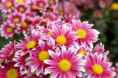 Autumn  chrysanthemum flowers Stock Images