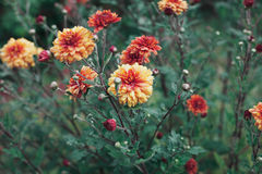 Autumn chrysanthemum flowers meadow after rain Royalty Free Stock Photos