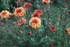 Autumn chrysanthemum flowers meadow after rain royalty free stock photos