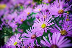 Autumn Chrysanthemum flowers Royalty Free Stock Images
