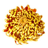 Autumn Chrysanthemum in full bloom Stock Image
