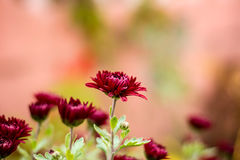 Autumn chrysanthemum stock photo
