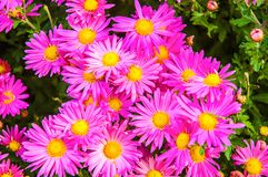 Autumn chrysanthemums. On the greeneries Stock Images