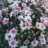 Autumn chrysanthemums Royalty Free Stock Images
