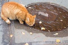 Autumn in the city. Ginger cat laps water from the hatch cover Royalty Free Stock Photo