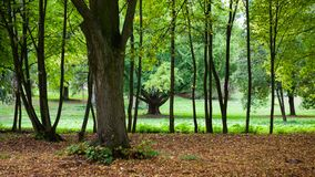 Young trees in the line. Autumn city park with fallen leaves and autumn trees in a row Stock Images