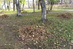 Autumn city park. fallen yellow maple leaves collected in a neat pile under a tree on a lawn . Autumn city park. fallen yellow maple leaves collected in a neat stock photography