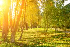 Autumn city park with yellow fallen leaves illuminated sun. Stock Photo