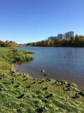 Autumn city pond with ducks royalty free stock photo