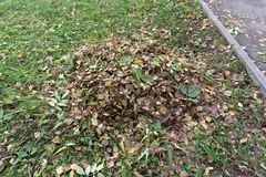 Autumn cleaning leaves. Steel fan rake with a long handle collect fallen leaves. Nearby stands a trash bag . stock photo