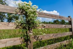 Autumn Clematis White Flowering Vine doce imagem de stock royalty free