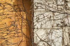 Autumn climbing plant wall texture background. In warm fall colors Royalty Free Stock Photo