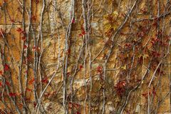 Autumn climbing plant wall texture background. In warm fall colors Royalty Free Stock Images