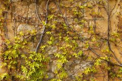 Autumn climbing plant wall texture background. In warm fall colors Stock Photo