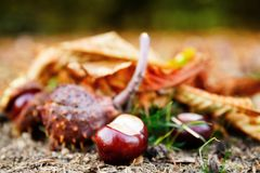 Close up of chesnuts in outdoors stock photo