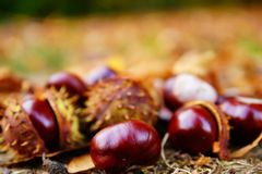 Close up of chesnuts in outdoors royalty free stock photography