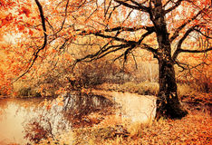 Autumn cloudy landscape of old autumn oak tree near the pond in cloudy autumn weather Stock Photos