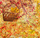 Autumn collage with Chinese crabapple. Basket on a branch of Chinese apple Stock Images