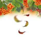 Autumn collage with falling leaves. Red mountain ash and autumn falling leaves royalty free stock photo