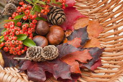 Autumn collection. Autumn collection of vibrant colourful leaves, conkers, pine cones, red berries in a wicker basket. Warm shades of brown, red and orange stock photos