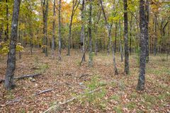 Autumn Color in Arkansas Woodlands. Woodland scene in the state of Arkansas royalty free stock photography