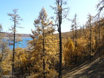 Autumn color. Beautiful yellow autumn forrest, close to a lake in the north of Mongolia Royalty Free Stock Image