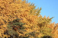 Autumn color of beijing. The ginkgo trees in autumn with light Royalty Free Stock Images