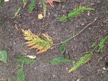 Autumn color cedar Stock Photo