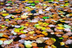 Autumn color change is season with red, yellow and green leaves alternates on water surface. Autumn color change is season colorful, with red, yellow and green royalty free stock photos