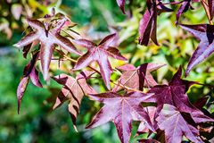 Autumn color changing leaves on a tree branch Royalty Free Stock Photo