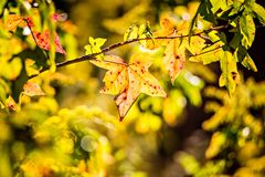 Autumn color changing leaves on a tree branch Royalty Free Stock Image