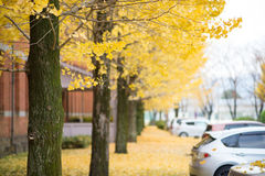 Autumn color of Ginkgo tree Stock Photo
