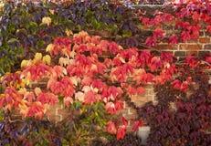 Autumn Color With Ivy On-Wand Lizenzfreie Stockfotografie