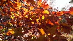 Autumn color leaves stock video