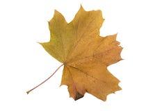 Autumn Color Maple Leaf D'isolement sur le fond blanc Photos libres de droits
