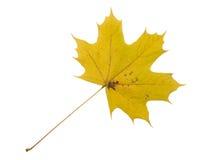 Autumn Color Maple Leaf D'isolement sur le fond blanc Photos stock