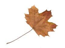 Autumn Color Maple Leaf D'isolement sur le fond blanc Image stock