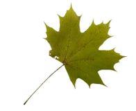 Autumn Color Maple Leaf D'isolement sur le fond blanc Photographie stock
