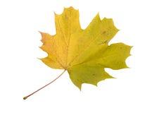 Autumn Color Maple Leaf D'isolement sur le fond blanc Image libre de droits