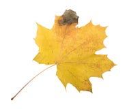 Autumn Color Maple Leaf D'isolement sur le fond blanc Photographie stock libre de droits
