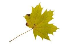 Autumn Color Maple Leaf D'isolement sur le fond blanc Images stock
