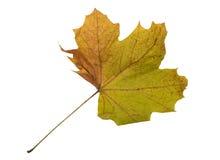 Autumn Color Maple Leaf D'isolement sur le fond blanc Photo stock